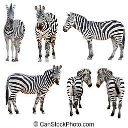 zebra, isolé
