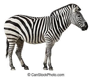 Zebra Isolated on a White Background - Grants Zebra (Equus...