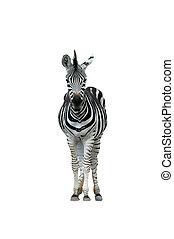 zebra isolated - Rhyncostylis sp