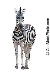 zebra, isolato