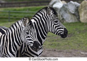 Zebra Kid with mother