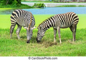 zebra, ligado, a, planícies, em, a, jardim zoológico