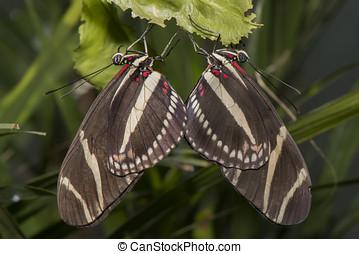 zebra, longwing, borboleta, ligado, um, folha, acoplamento