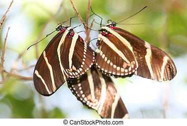 Zebra Longwing butterflie - Zebra Longwing butterfly...