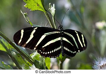 Zebra longwing Butterfly - 2