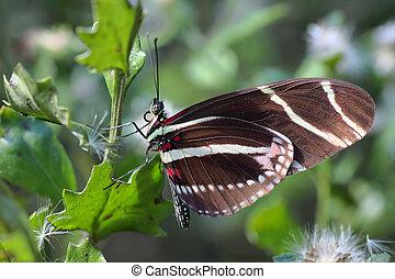 Zebra longwing Butterfly - 3 - Close up of a Zebra longwing...