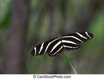 Zebra longwing Butterfly - Close up of a Zebra longwing...