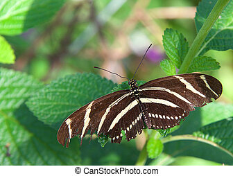 zebra longwing butterfly - Heliconius charithonia, the zebra...