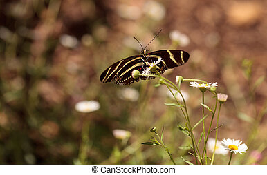 Zebra Longwing butterfly, Heliconius charithonia, in a...