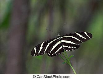 Zebra longwing Butterfly - Close up of a Zebra longwing...