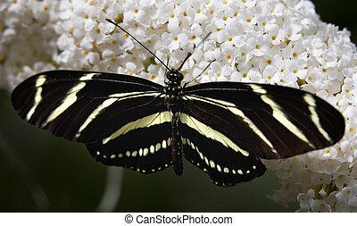 Zebra Longwing Butterfly - Striped zebra Longwing Butterfly...