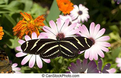 Zebra Longwing Butterfly - A Zebra Longwing Butterfly lands...