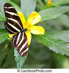 Zebra Longwing butterfly (Heliconius charithonia) on flower...