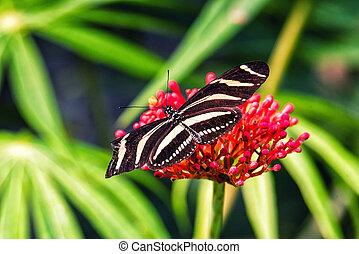 Zebra Longwing Butterfly - Zebra longwing, Butterfly on a...