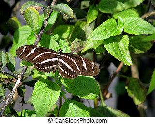 Zebra Longwing Butterfly - close-up photograph of a zebra...