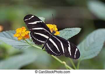 Zebra longwing (Heliconius charithonia) - Zebra longwing...