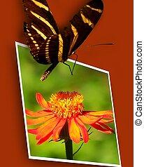 Zebra Longwing on Photo - Zebra longwing butterfly on photo...