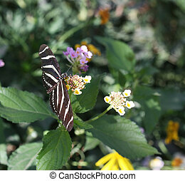 Zebra Longwing butterfly sitting on a flower. ( Heliconius...