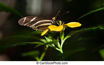 Zebra Longwing - Photo of a Zebra Longwing, Heliconius...