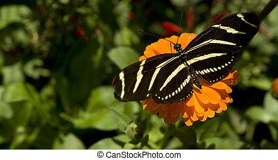 Zebra Longwing  - A Zebra Longwing sits on a bud