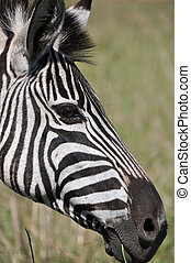Zebra looking smart in South African national parc