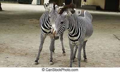 Zebra Mammal Animal in Zoo