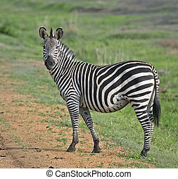 Zebra, Mikumi Park - Zebra walking in Mikumi National Park...