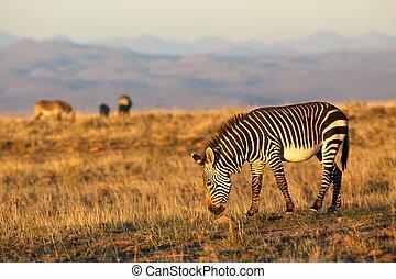 zebra, montagne