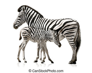 Zebra mother and baby - Female zebra and her baby isolated...