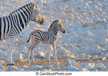 Zebra mother and foal at sunset at the Okaukeujo waterhole