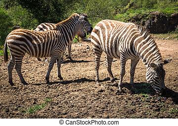 Zebra on grassland in Africa, National park of Kenya