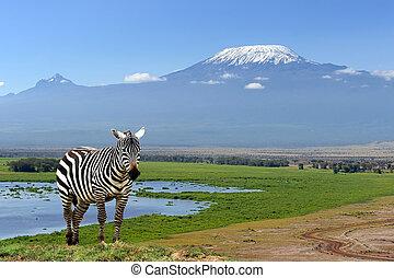 Zebra on Kilimanjaro mountain background in National Park. Africa, Kenya