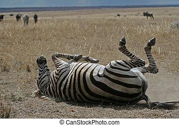 Zebra on plains of Serengeti rolling in dust