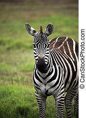 Zebra on savanna