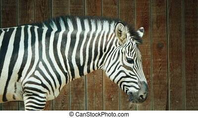 Zebra on the background of a wooden fence.