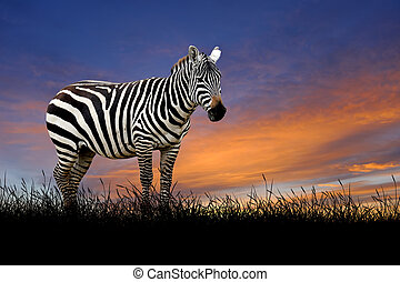 Zebra on the background of sunset sky