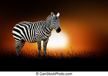 Zebra on the background of sunset