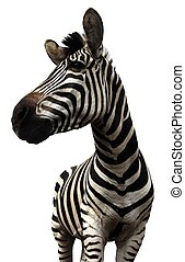 Zebra on White Background - Plains Zebra on White Background...