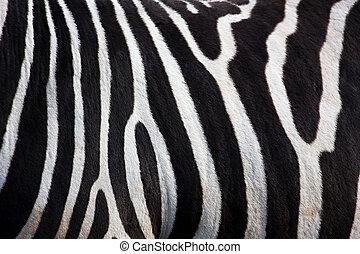 zebra, patrón