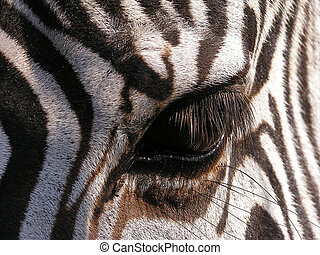 Zebra - close-up of eye