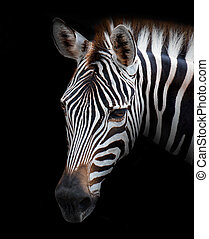 Zebra - Young male zebra isolated on black background