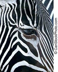 Zebra.