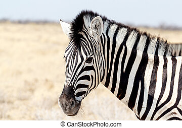 Zebra portrait. Burchell's zebra, Equus quagga burchellii....