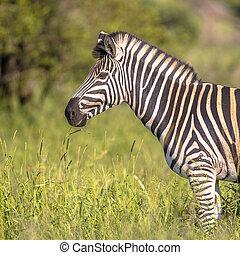 zebra, portrait, commun