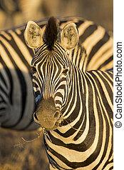Zebra portrait in a colour photo with head close-up