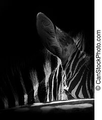 Zebra portrait in a photo with head close-up artistic conversion