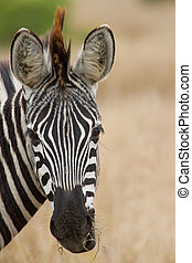 Zebra portrait in nature lovely detail soft light