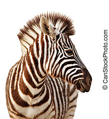 Close-up portrait of a baby zebra isolated on white