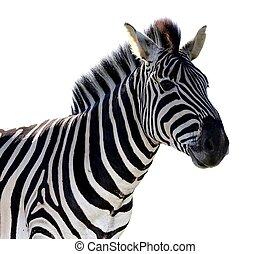 Zebra Portrait - Isolated