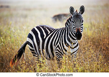 Zebra portrait on African savanna. Safari in Serengeti,...